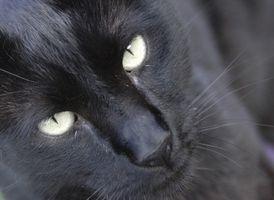 Visión general de los gatos y el virus del herpes