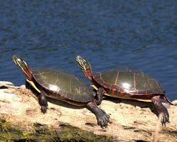 Ciclo de vida de una tortuga pintada