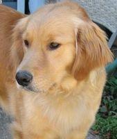 Información de perro Golden Retriever