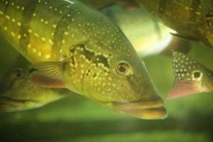 El uso de sales de Epsom en un acuario de agua dulce