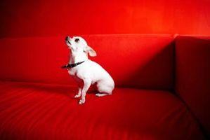 Cómo identificar los tipos de perros Chihuahua