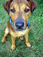 Liver Support para perros