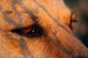 Cuidado de los ojos infectados para perros