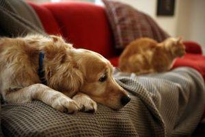 Cuál es la diferencia entre ventaja para los perros y de los gatos?
