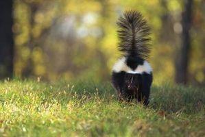 Cómo tratar un perro atacado por un Skunk