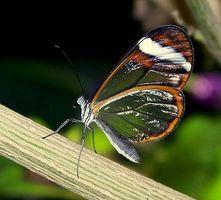Hábitat de la mariposa Glasswing