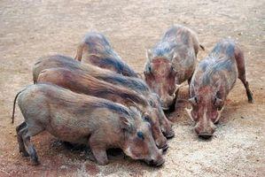 Lo que usted alimenta a los cerdos?
