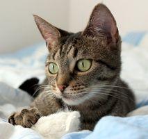 Piel sarna en los gatos
