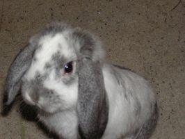 Los signos de la sarna en los conejos