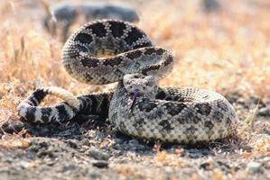 Las serpientes del desierto del sudeste de California