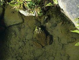 Comportamiento de las ranas acuáticas miniatura