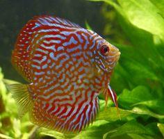 Cómo diferenciar visualmente entre el macho y hembra de peces disco
