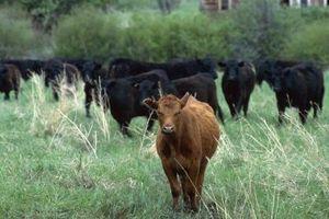 Tipos de identificación utilizados en la cría de ganado