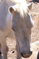 Maneras para caballos veteranos al aumento de peso