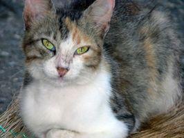 ¿Cómo deshacerse de las heces del gato Olor en Casas