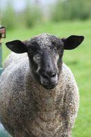 Los piojos de las ovejas