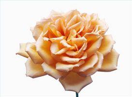 ¿Qué flores se utilizan para hacer perfume?