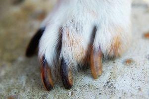 Lesiones perro uñas de los pies