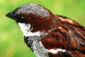 ¿Qué es una dieta del bebé Sparrow?