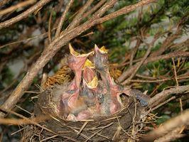 Cómo amamantar a los pájaros de bebé