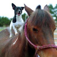Los tipos de Russell Terriers