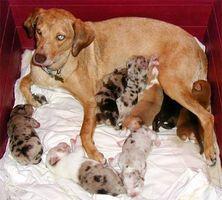 ¿Cuándo se debe Deworm una perra embarazada?