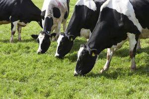 La alimentación del ganado Vs. trigo maiz