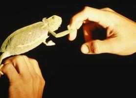 Cómo criar gusanos de la harina para reptiles