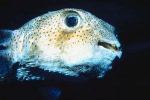 Cómo criar manchados verde del pez globo
