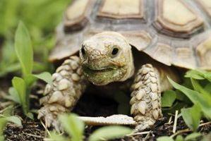 La diferencia entre macho y hembra sulcata tortugas
