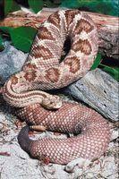 Cómo hacer un hábitat para una serpiente de cascabel