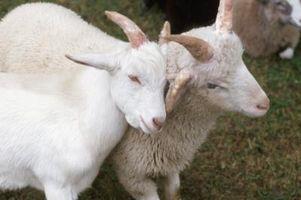 Beneficios de calostro de leche de cabra