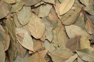 Cómo conservar hojas de laurel