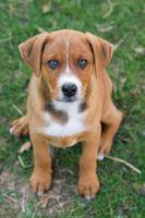 ¿Por qué usted debe adoptar un perro de un refugio o libras