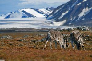 Los carnívoros lo vivo en la tundra?