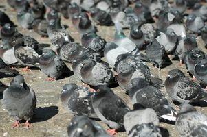 Cuáles son los signos y síntomas de la salmonela en las palomas?
