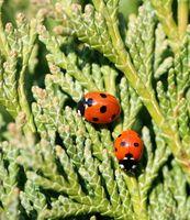 Cómo identificar Lady Bugs