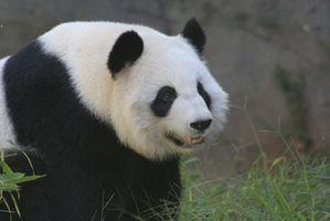 ¿Por qué son pandas gigantes están extinguiendo?
