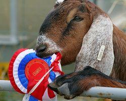 Draxxin tratamiento farmacológico para las cabras