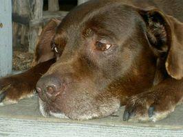 Los síntomas de la artritis en los perros