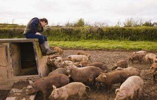 Cómo criar cerdos para comer Feeder