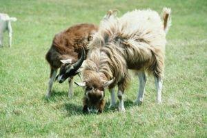 Los signos de una cabra agusanado
