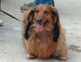¿Qué es un perro Walker Comercial?