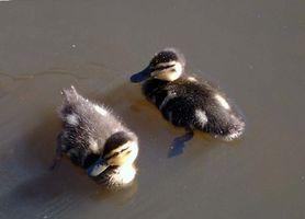 Cómo alimentar a los patos salvajes del bebé