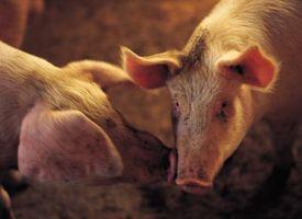 Cómo alimentar a los cerdos Orgánicamente