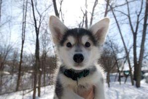 ¿Por qué es morder y pellizcar mi husky siberiano cachorro?