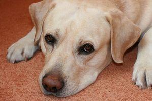 Melanocitoma benigno en el perro