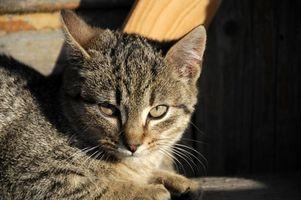 Cómo tratar las pulgas en un gato Orgánicamente