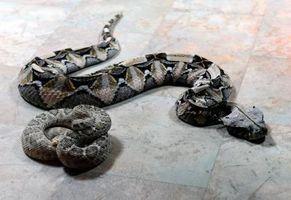 Datos de la serpiente de cascabel de Mojave