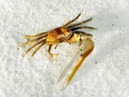 Los caracoles pueden Mystery Estar en el mismo tanque que los cangrejos violinistas?